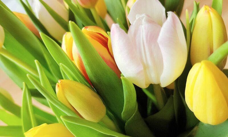 5 Tulpen blühen