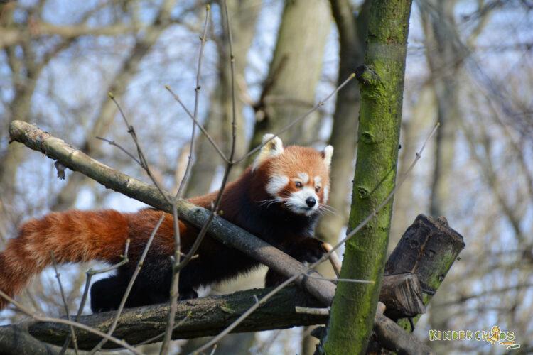 Tierpark Berlin Katzenbär roter Panda