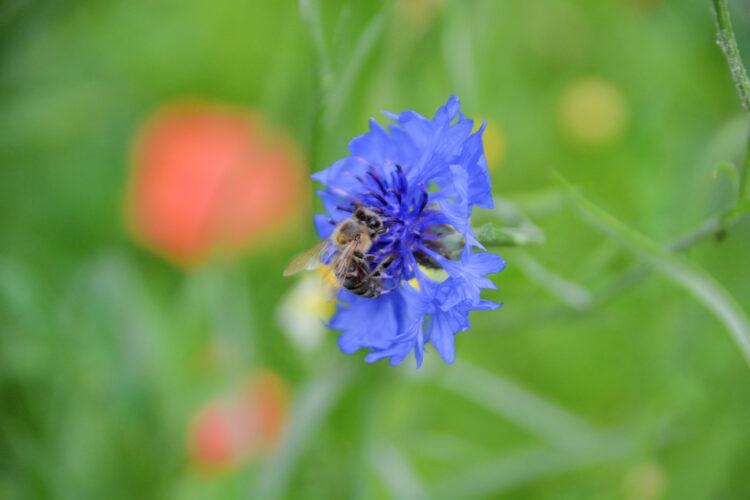 Honigbiene ganz nah