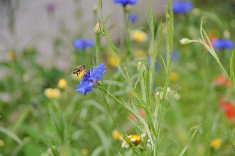 Honigbiene in unserem Garten