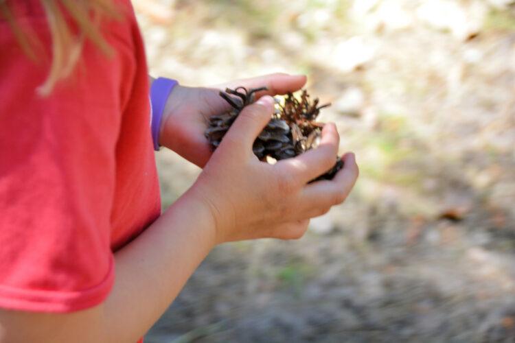 Kiefernzapfen sammeln