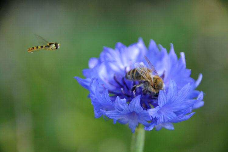 Honigbiene unter Beobachtung