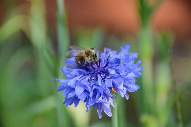 Biene und andere Insekten